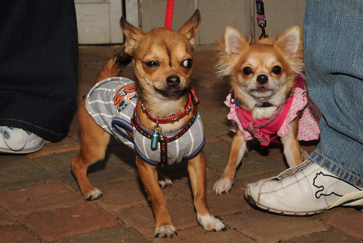 Two Chihuahua eyeball each other