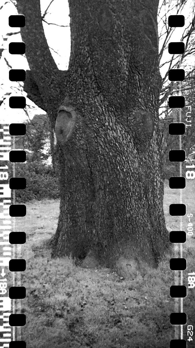 Tree taken with Kodak Brownie