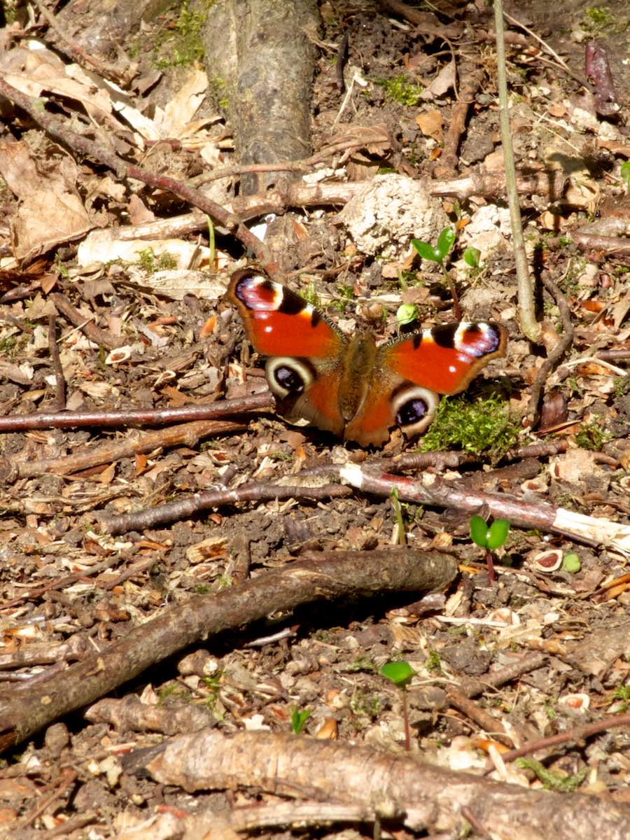 A Peacock butterfly basking in the sun, Bayhurst Woods.