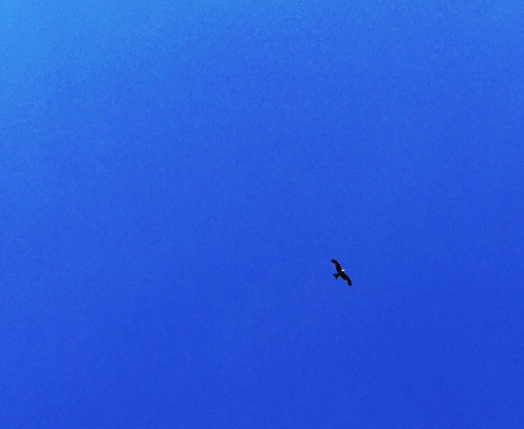A bird of prey, probably a Red Kite, soars through blue skies. Cropped image.
