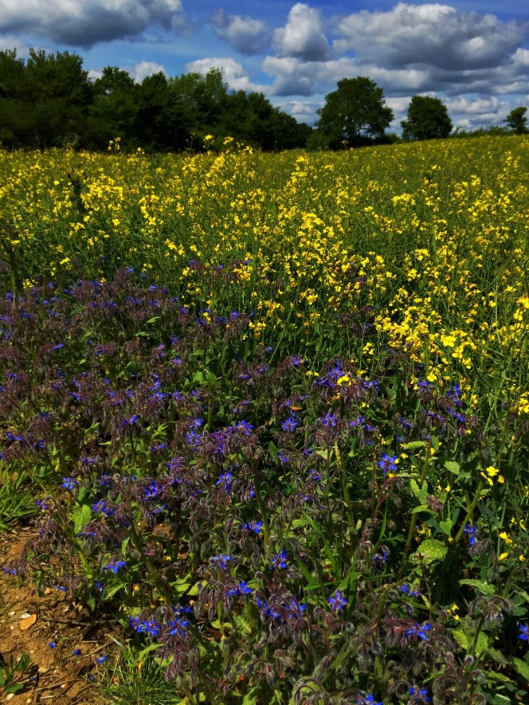 A field of Rape surrounded by a border if purple flowers.