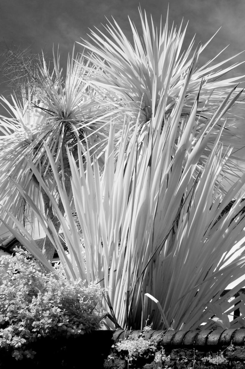 Ferns captured in infrared.