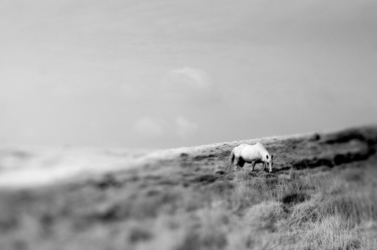 Welsh Wild Pony